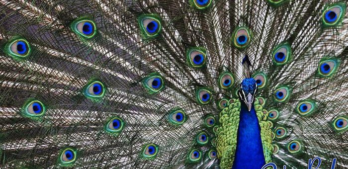 Would You Want to Fly with a Peacock?